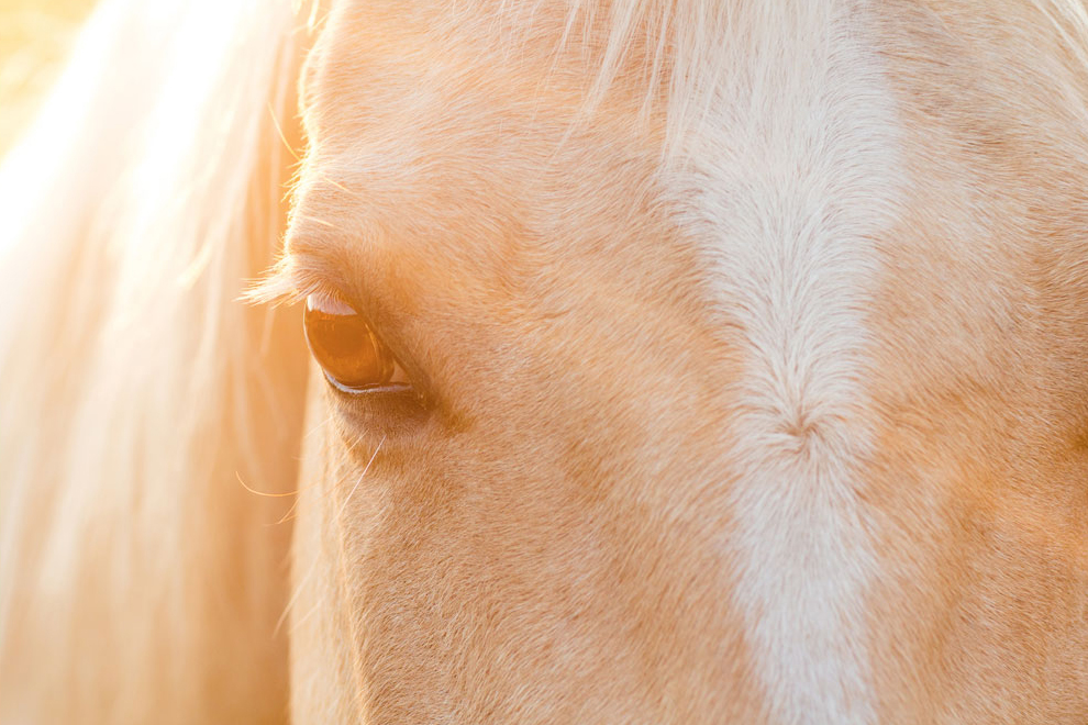 palomino horse photo by Elizabeth Hay for 2018 AQHA Calendar contest