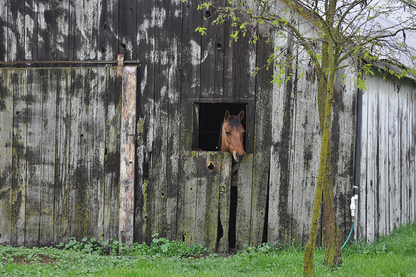 Forever West hangs her head out a Dutch stall door in a old wood barn (Credit: Melissa Collins)