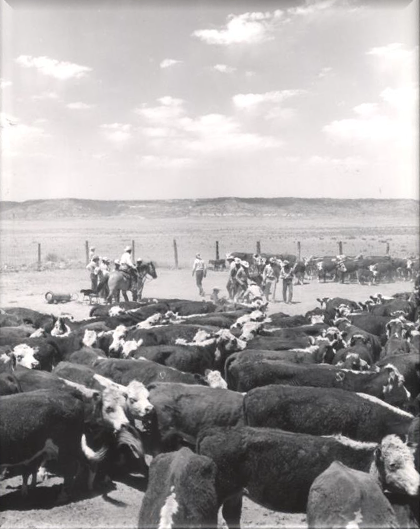 black and white photo shows cowboys working a herd of Hereford cattle