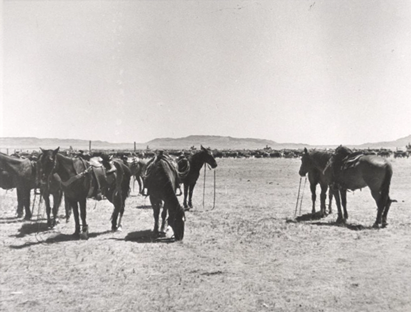 hobbled Tequesquite ranch horses stand near a Hereford herd of cattle (Credit: courtesy of American Quarter Horse Hall of Fame)