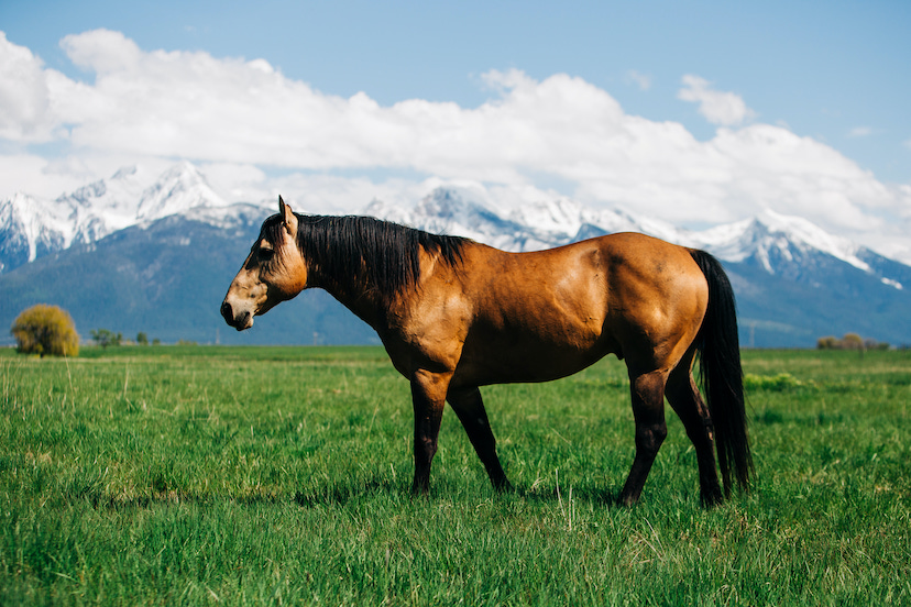 buckskin stallion on grass pasture with mountains in the background (Credit: Briana Malmquist / @piperszoo)