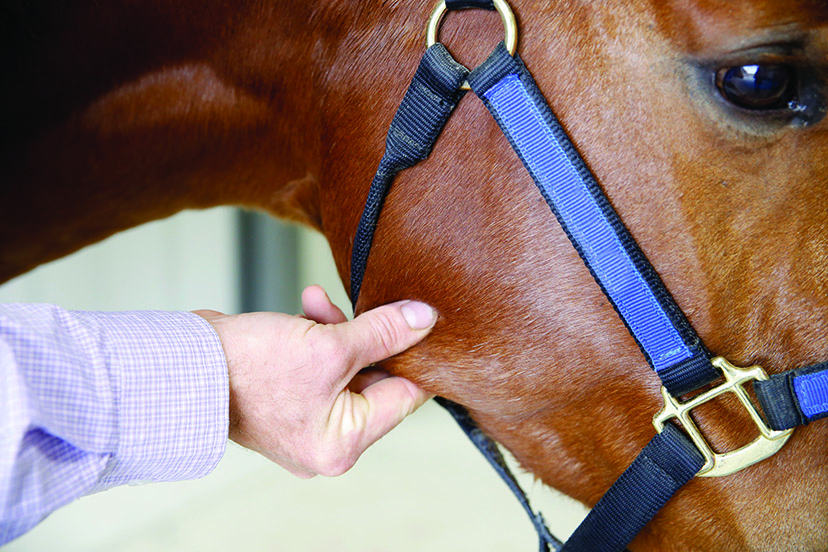 how to take equine vital signs (Credit: Holly Clanahan for AQHA)