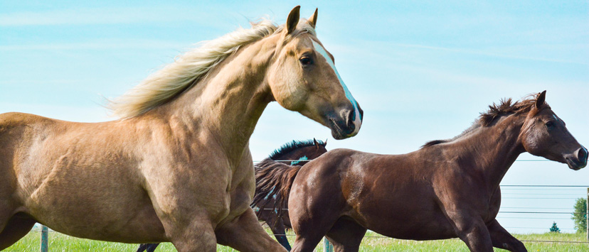 generic photo of horses running pasture palomino and chestnut (Credit: Natasha Lancaster)