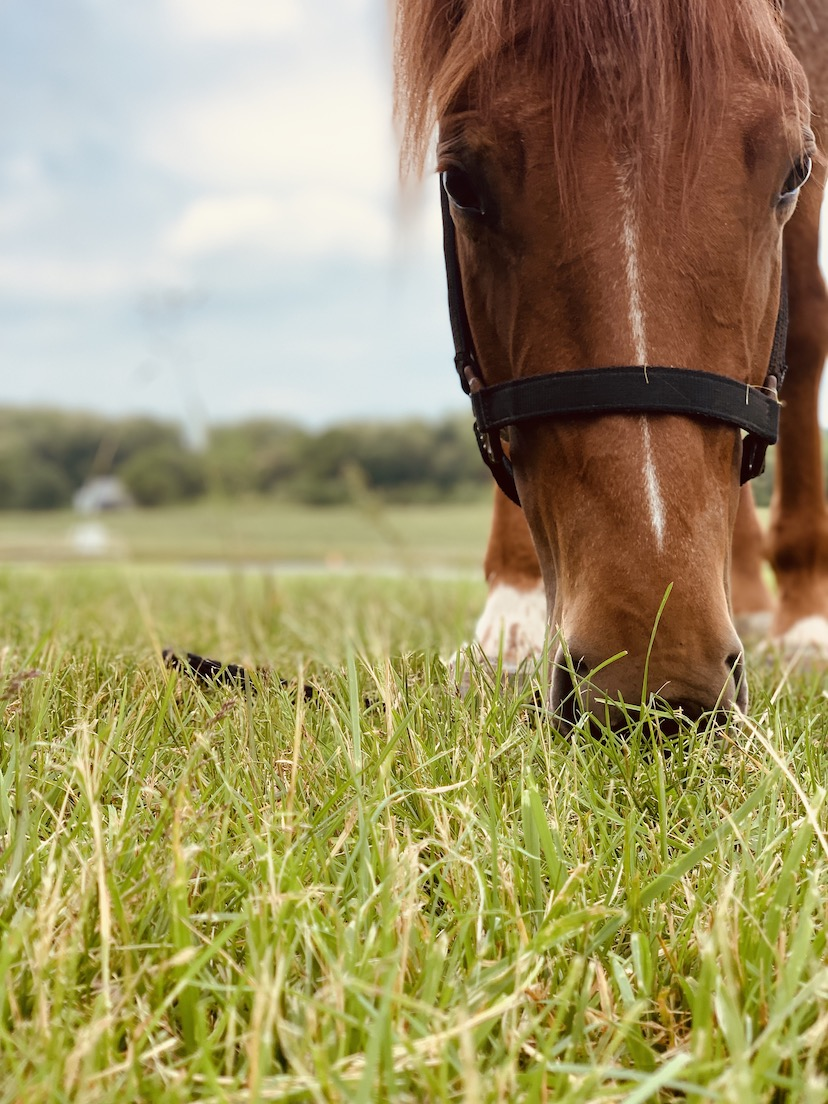 sorrel horse in a black halter grazes a grass pasture