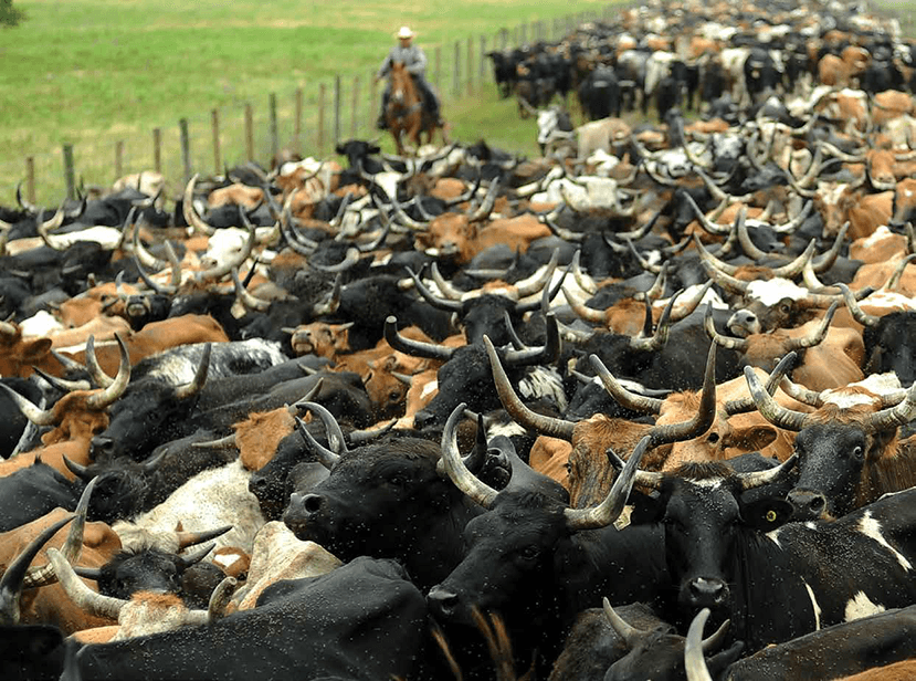 large herd of roping steers with horns