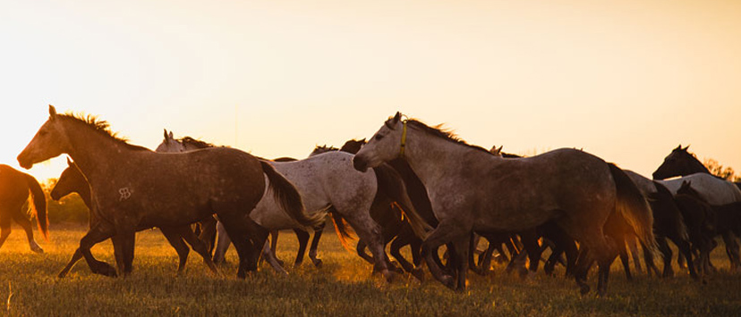 herd of horses running at sunset (Credit: AQHA Calendar)