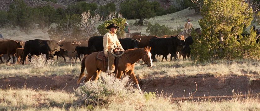 ranch cowboy driving herd of cattle