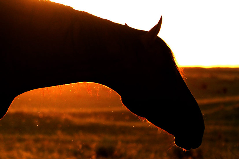 generic horse shadow at sunset in field (Credit: Journal)