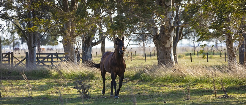 Bay horse trotting in green pasture