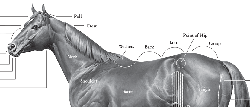 close up of the American Quarter Horse Conformation Chart, showing the points or external features of a horse's structure