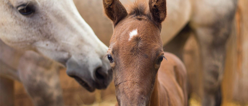 Equine research, American quarter horse foundation