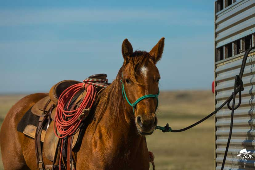 A sorrel horse  wearing a western saddle is standing tied to a trailer.