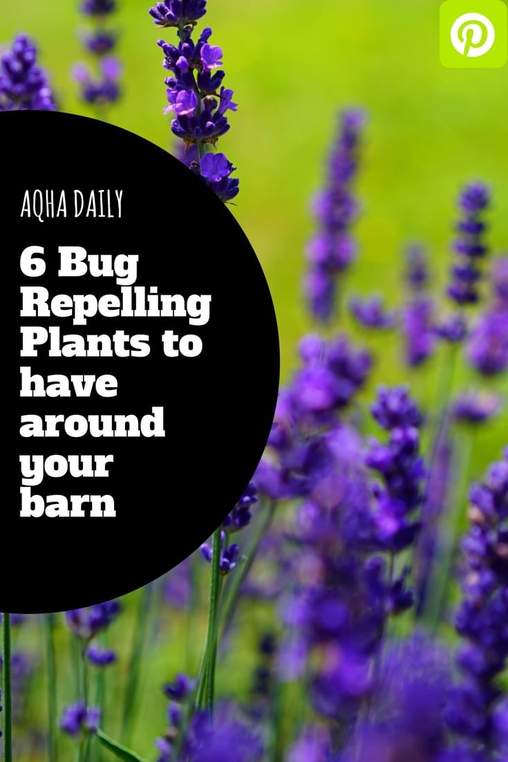 Bug Repelling Plants To Have Around Your Barn Aqha